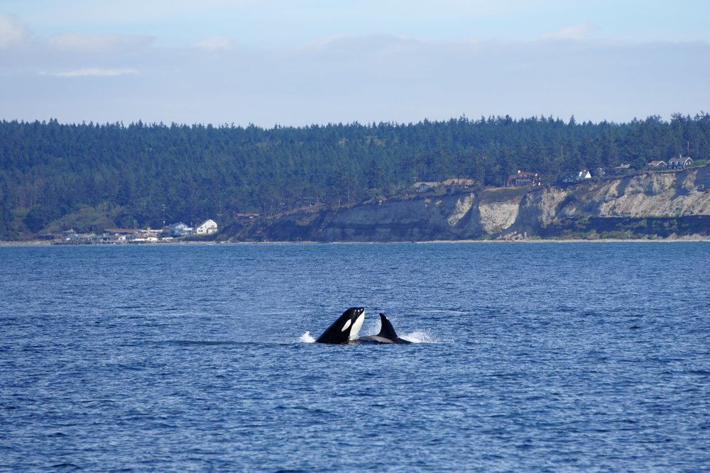 Orcas seen with Mystic Sea Charters of Anacortes