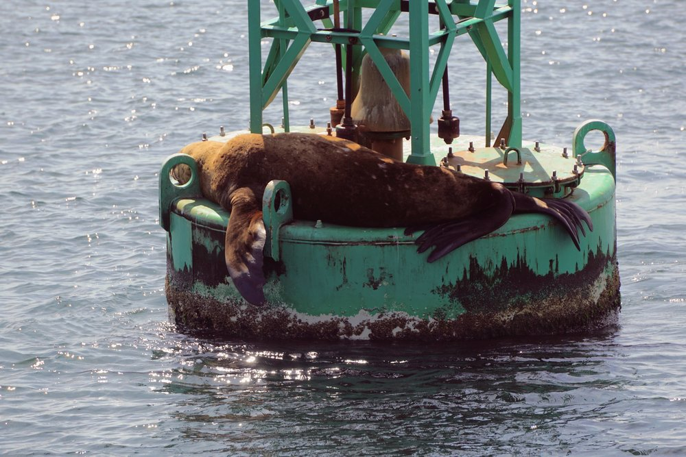 Sea Lion seen with Mystic Sea Charters of Anacortes