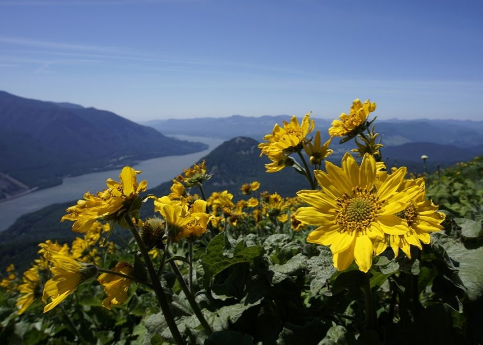 THE WILDFLOWERS OF DOG MOUNTAIN