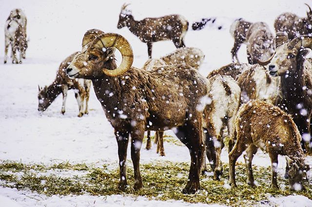 California Bighorn Sheep at Cleman Mountain 🐏 #pnw #wildlife #bighornsheep #oakcreekwildlife