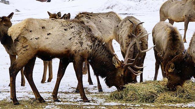 Rocky Mountain Elk feeding at Oak Creek Wildlife Area. Link in bio. #pnw #oakcreekwildlife #elk #wildlife #wanderwashington #wanderlife
