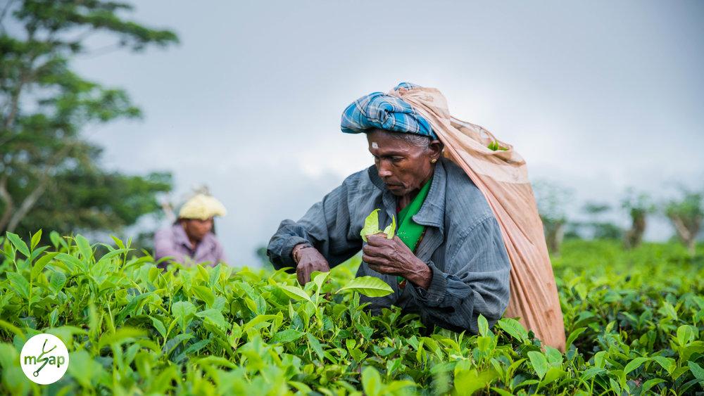 Tea leaf picker - Pasan Pannila