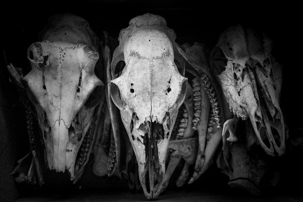 steer skulls  bones.jpg