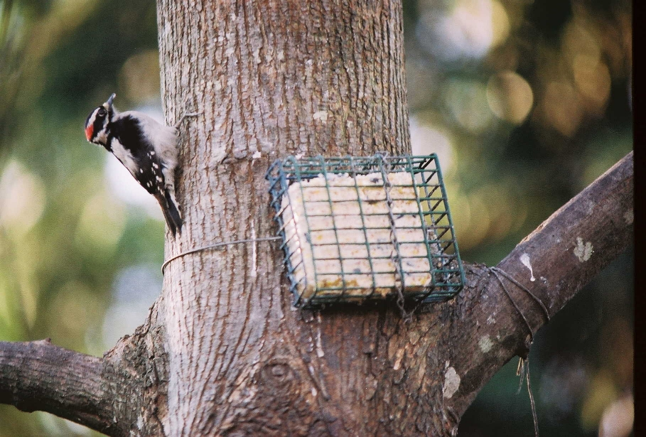 DownyWoodpecker3.JPG