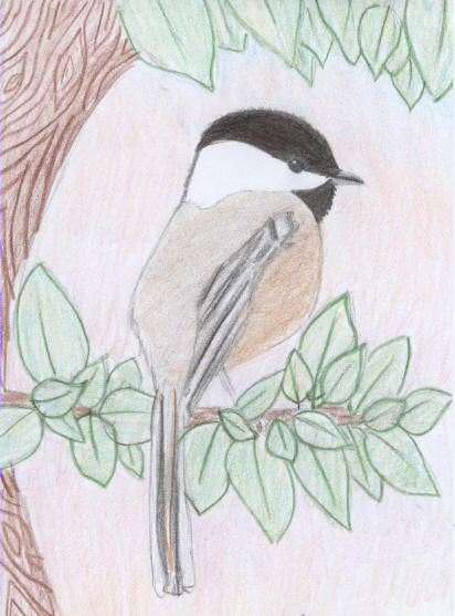 Black-capped Chickadee Karisa - 2008