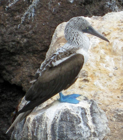 Blue-footed Booby - Galapagos Islands Jessica - 2008
