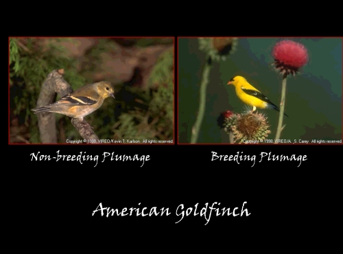 A_Goldfinch.jpg