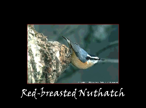 RB_Nuthatch.jpg