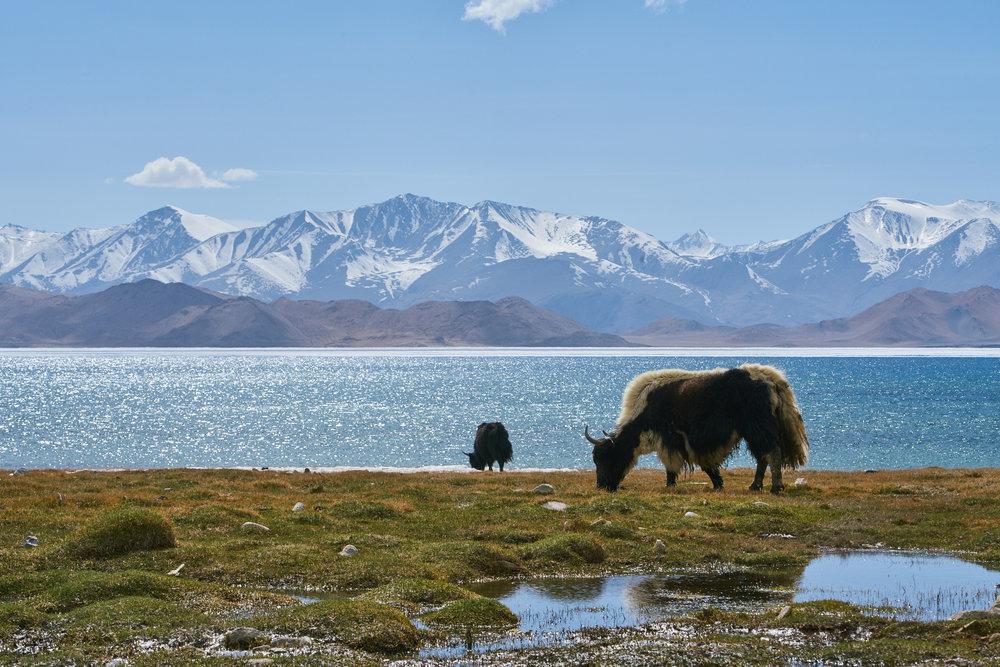 Yaks in Tajikistan.jpg