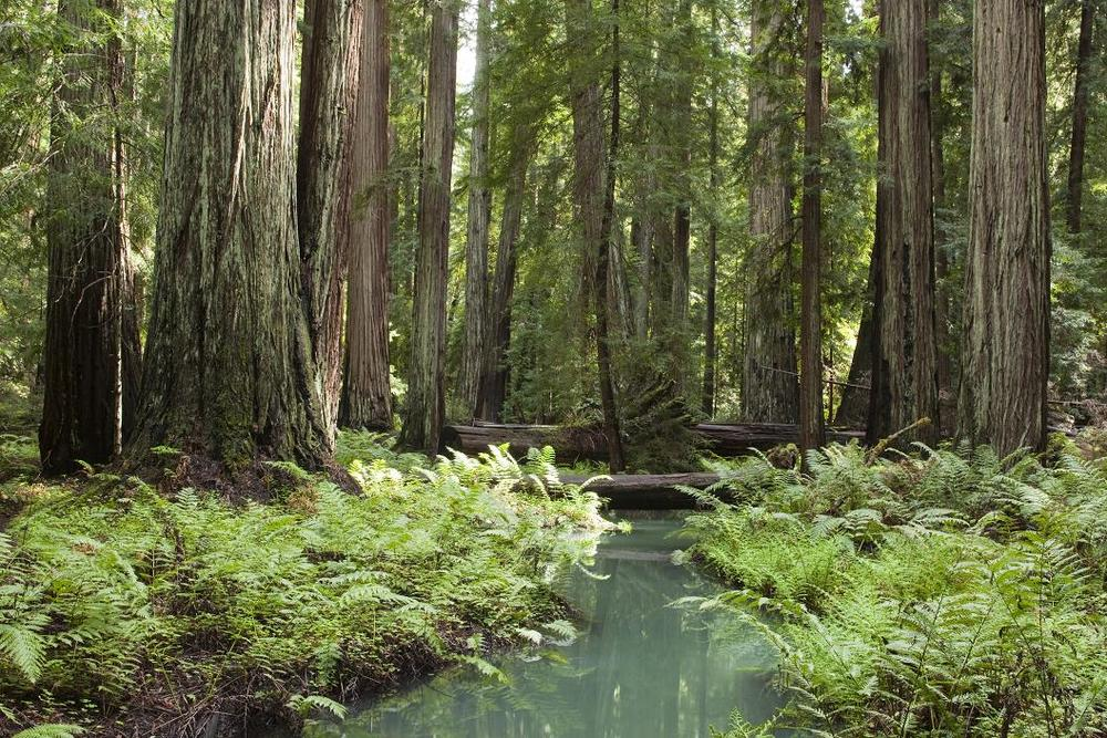 Montgomery Woods State Natural Reserve.JPG