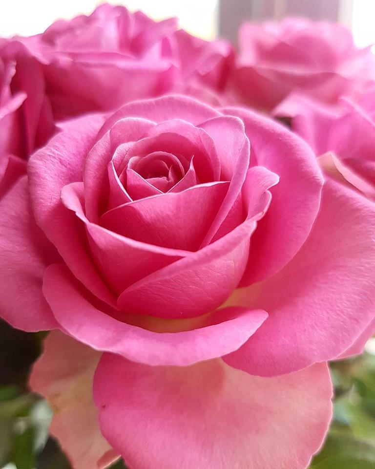 Jeg fikk nydelige roser på bursdagen min. Det er de mest rosa rosene jeg har sett!