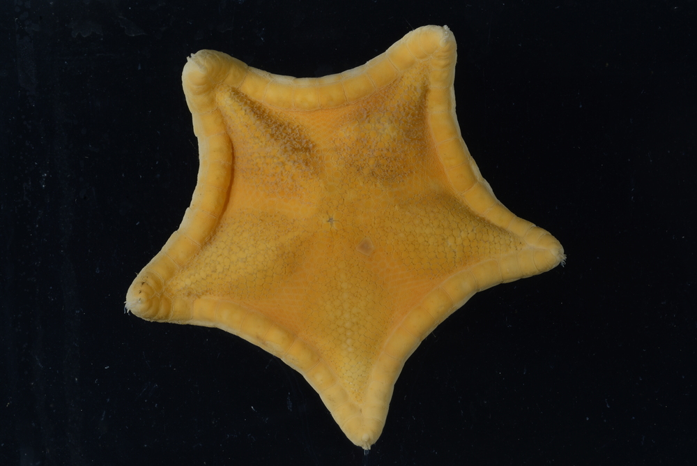 Ceramaster grenadensis  Image: Smithsonian Institution
