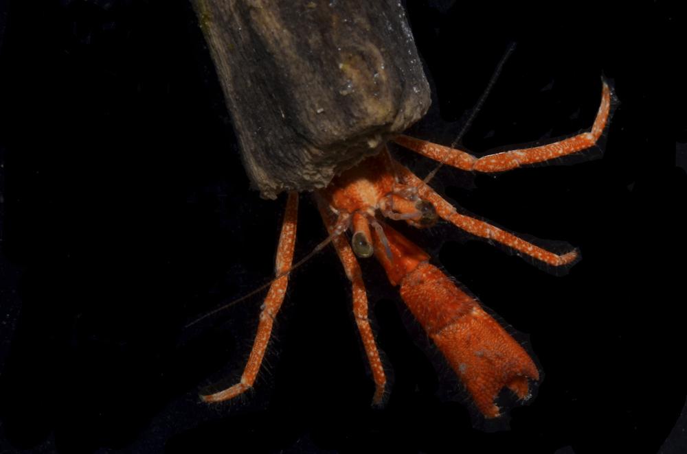 Xylopagurus tenuis