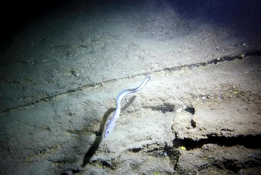 Unknown conger eel at 900ft on steep wall.