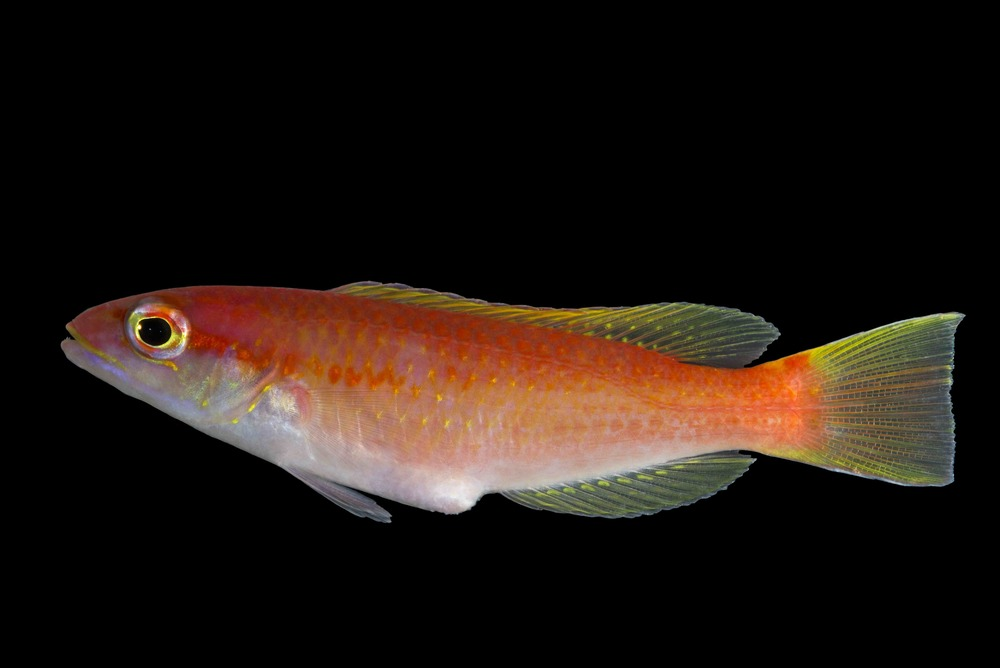 New Red Hogfish ( Decodon  sp)  This new species was previously collected in the southern Caribbean but was found yesterday at 330 feet.