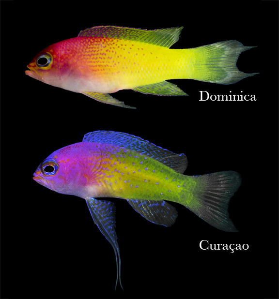 Potentially new basslet species from Dominica on top;  Bicolor Basslet ( Lipogramma klayi ) from Curacao on bottom. These fishes are about 1.5 inches (3.8cm) long.