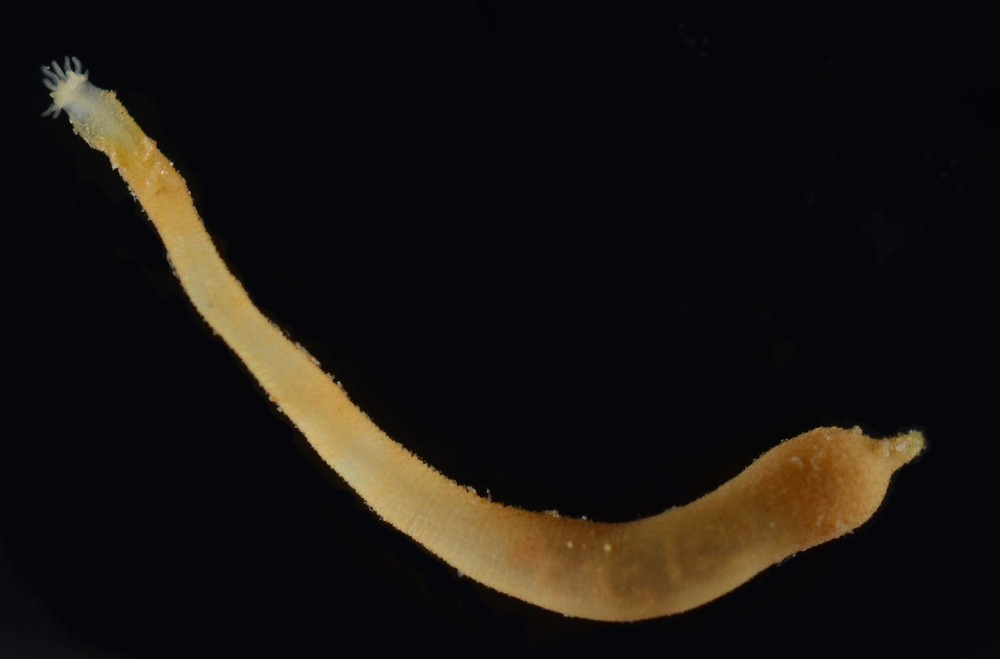 Unknown Peanut Worm Size: 1cm