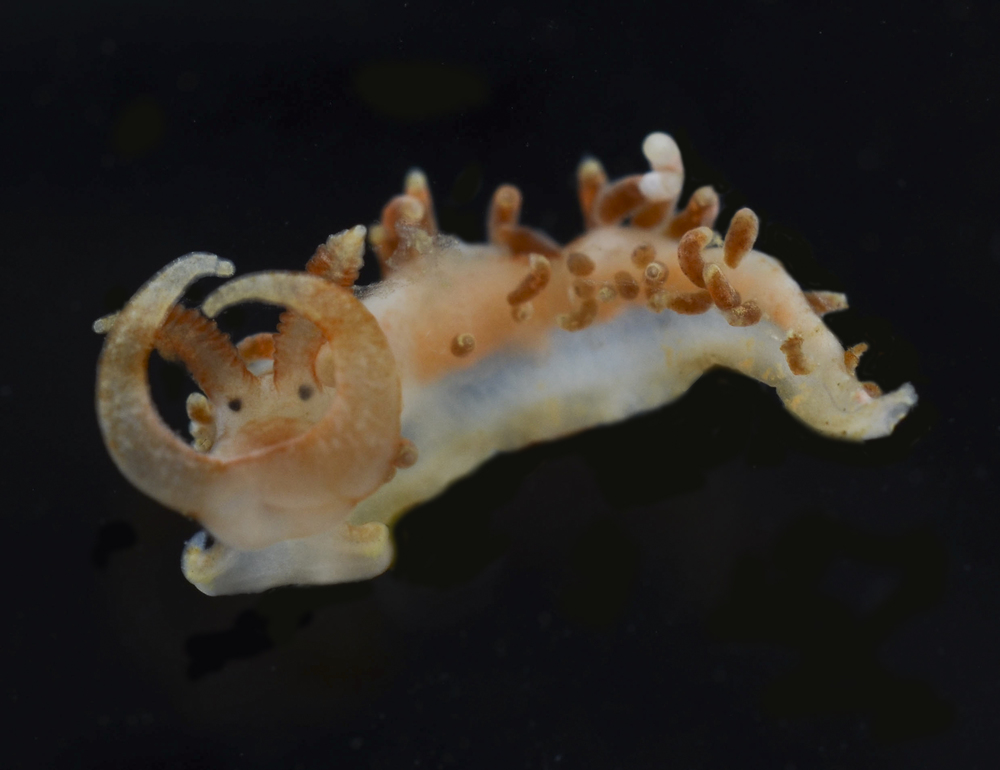 Sea Slug (Nudibranch) Size: Less than 1 cm