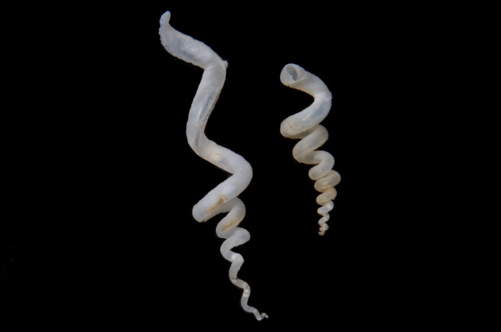 "Slit Worm Snails live ""suspended"" in sponges. They are filter feeders that must keep with with the growth of the sponge."