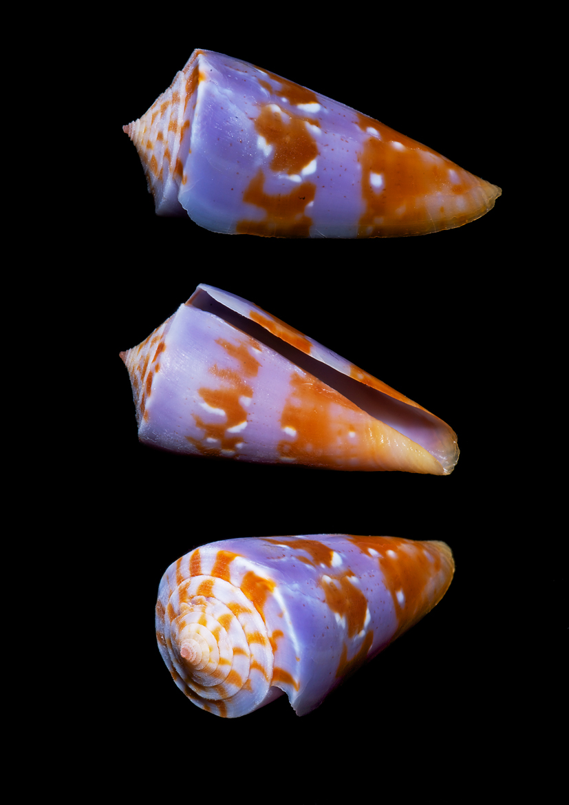 Cone shell with unusual lical coloration.