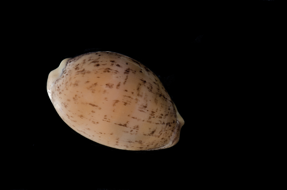 Atlantic Gray Cowrie Cypraea cinerea