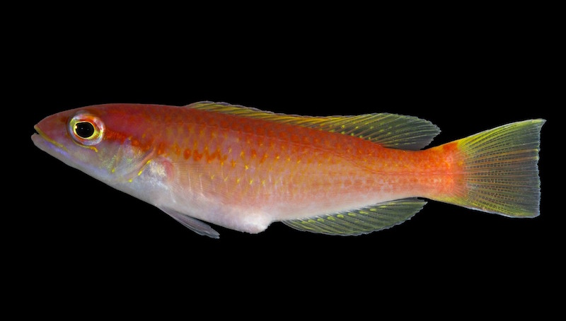 new-species-decodon-hogfish.jpg