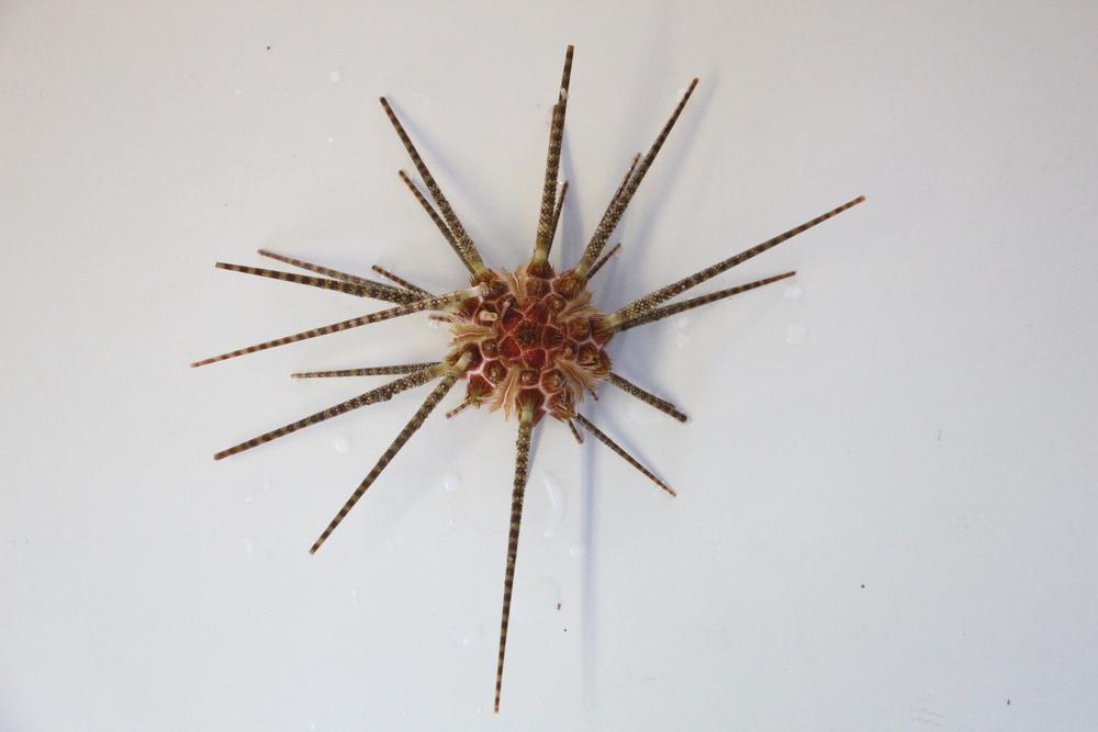 Cidaridae (465ft)
