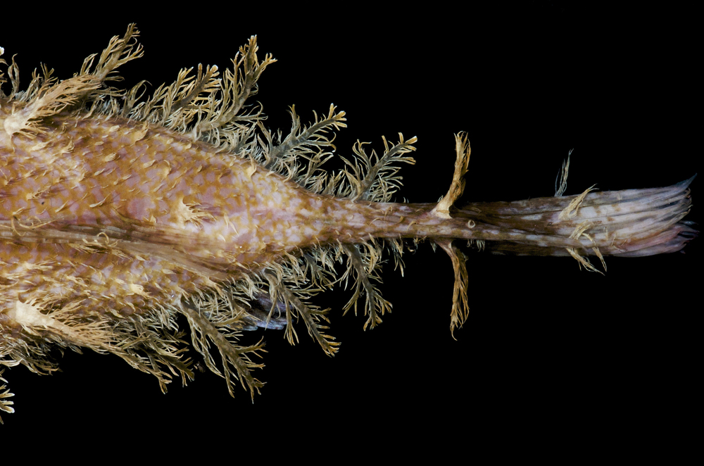 DOM16154_Lophoides_reticulatus_CRP_0679.jpg