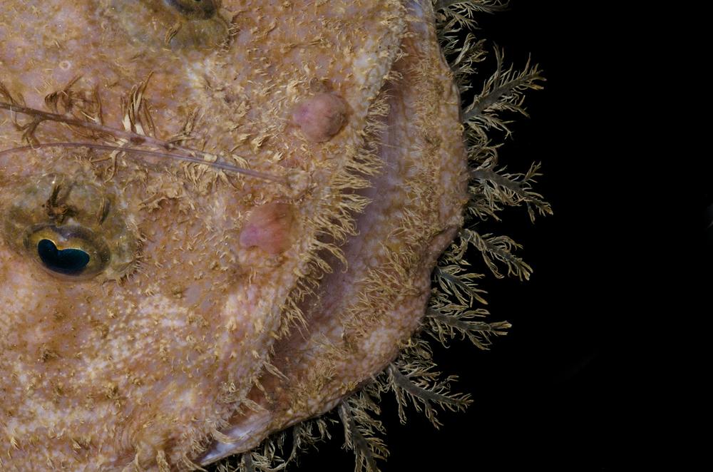 DOM16154_Lophoides_reticulatus_CRP_0681.jpg