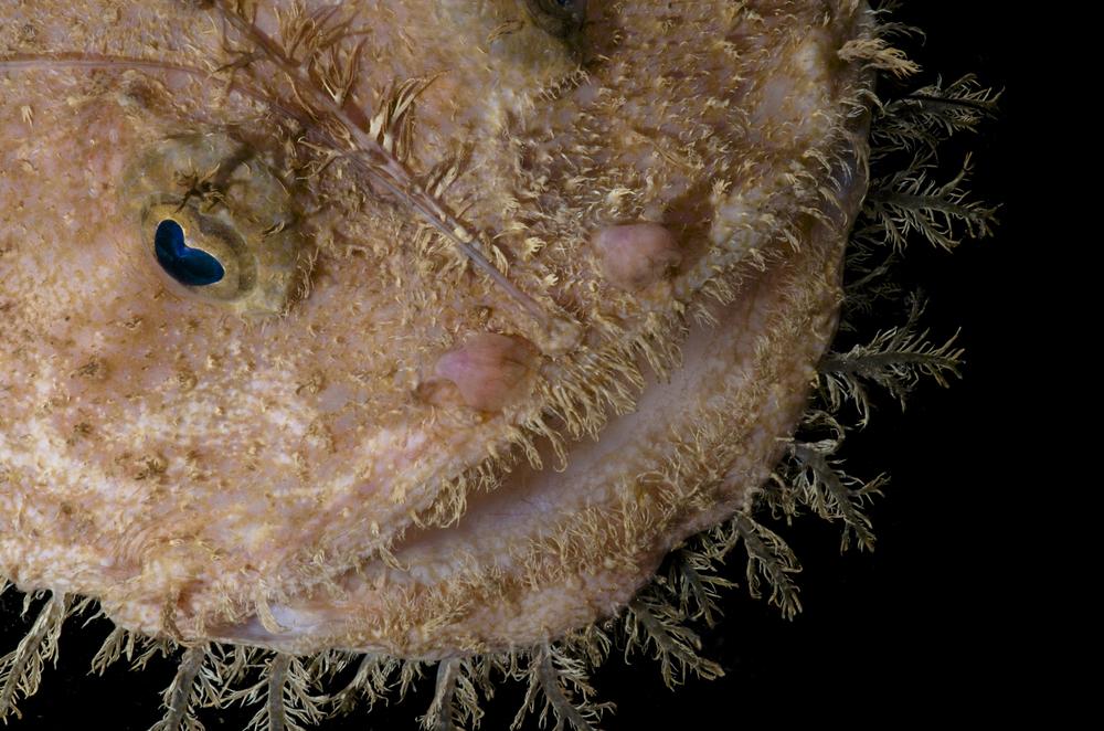 DOM16154_Lophoides_reticulatus_CRP_0683.jpg