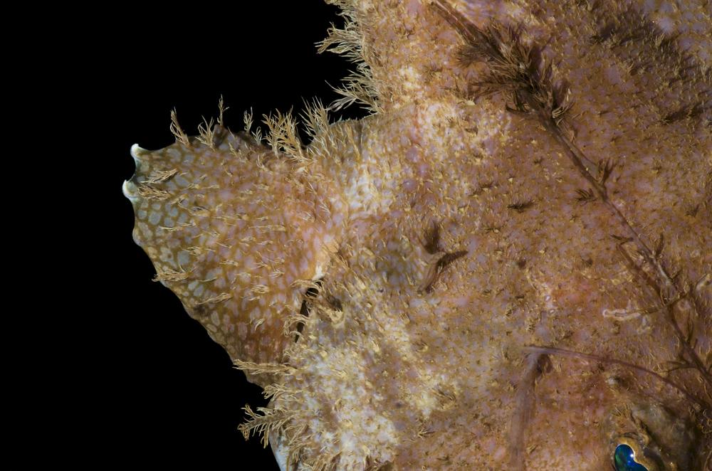 DOM16154_Lophoides_reticulatus_CRP_0686.jpg