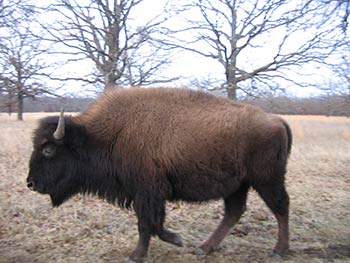 woolaroc-bison-closeup-blog.jpg