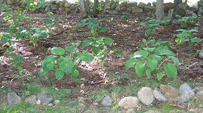 seeded hostas replanted and growing in woods