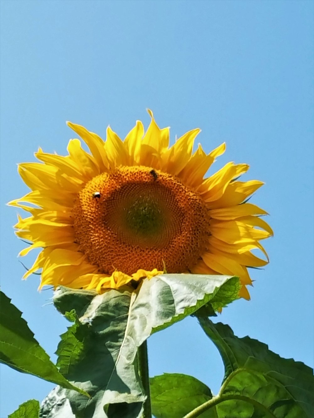 Sunflower Pic for Sept Gardening Tips Blog.jpeg