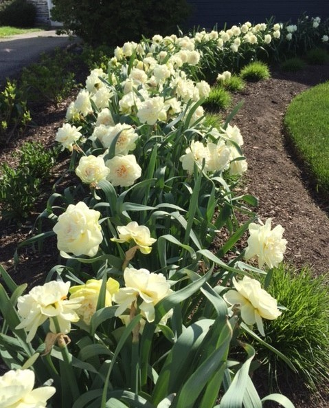 These bulbs were planted by digging a trench, placing the bulbs about four inches apart, and covering the trench with soil. The spring display is lovely, and continues for several weeks.