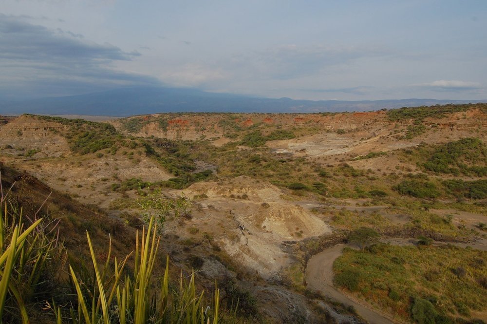 Olduvai Gorge is named after the oldupai plant ( Sansevieria ehrenbergii ) pictured here in the bottom left corner.