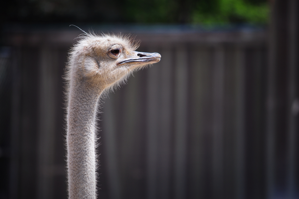 Ostrich Birmingham Alabama Zoo