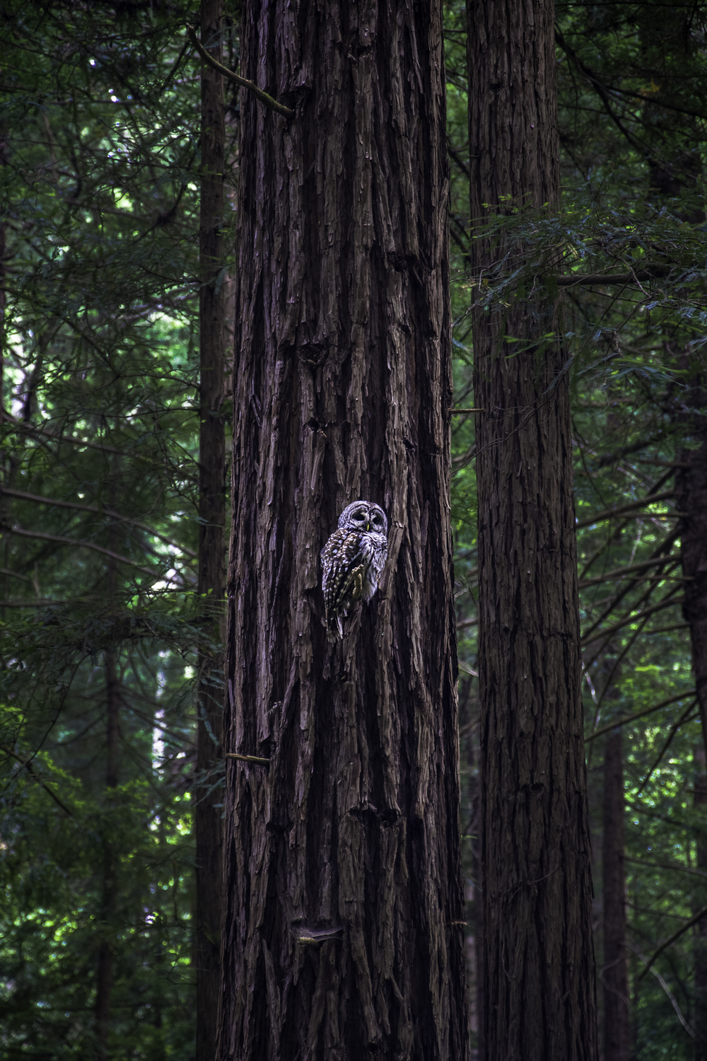 Owl in Muir Woods National Monument