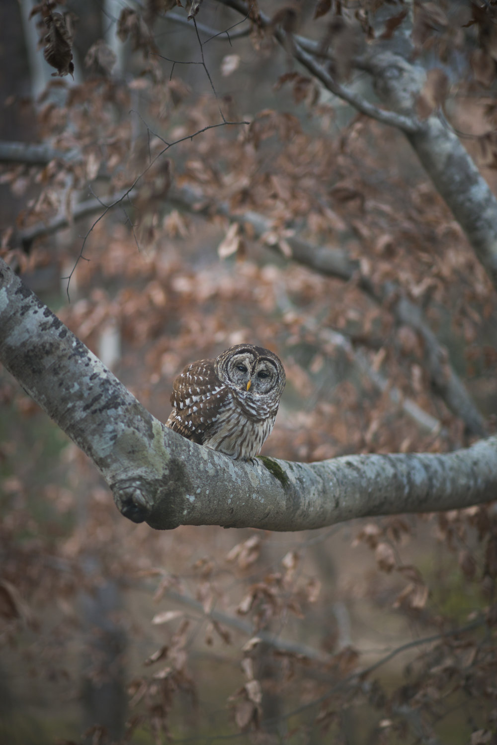 Barred Owl, Alabama