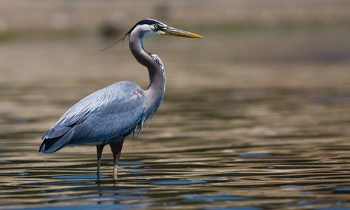 Great_Blue_Heron_page_image.jpg
