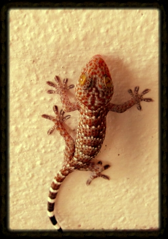 "This critter, and the lovely lizard up top, lived at Nephyr's house when she lived in Thailand.  This one is a tookay gecko, and calls out ""tookay, tookay, tookay"" in a deep deep voice.  If you hear one call out 9 times in a row, it is considered good luck"