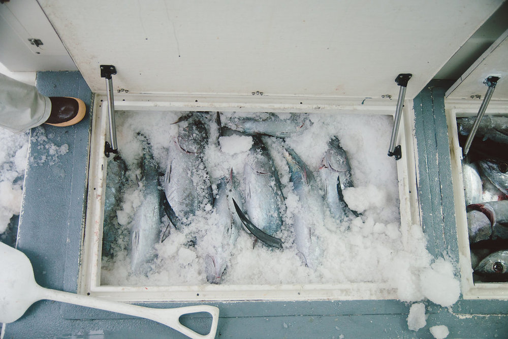 6.6 fish iced.jpg