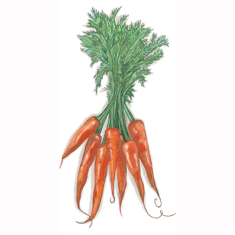 - carrot illustration -