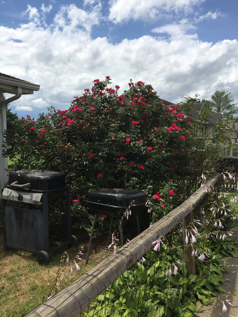 Mary Jo's roses