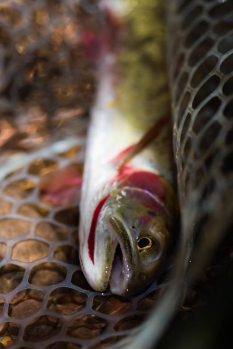 High Mountain Cutthroat Trout