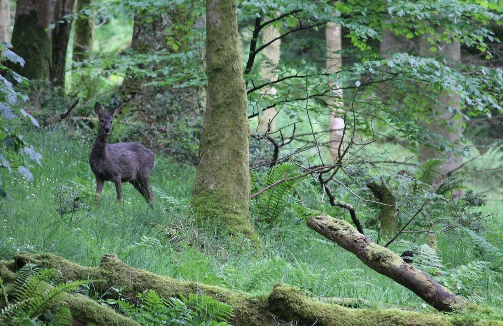 deer loweswater 011 copy.jpg