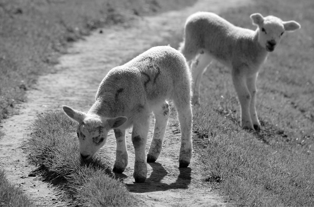 lambs fixed.jpg