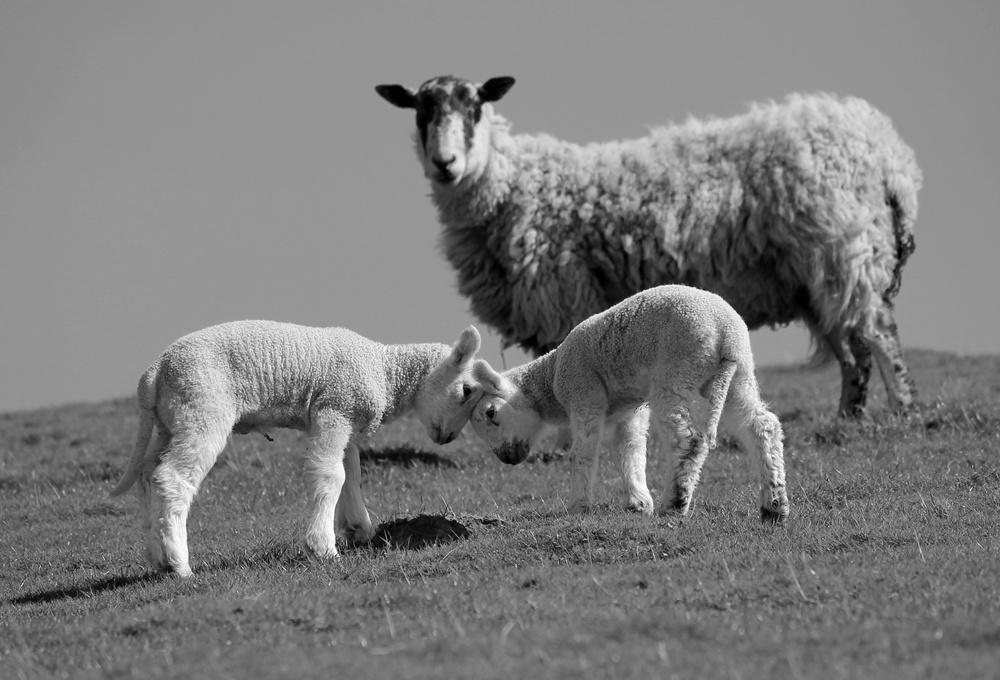 sheep fixed.jpg