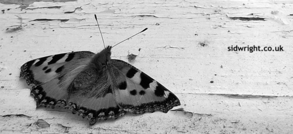 butterfly image by Sid Wright sidwright.co.uk
