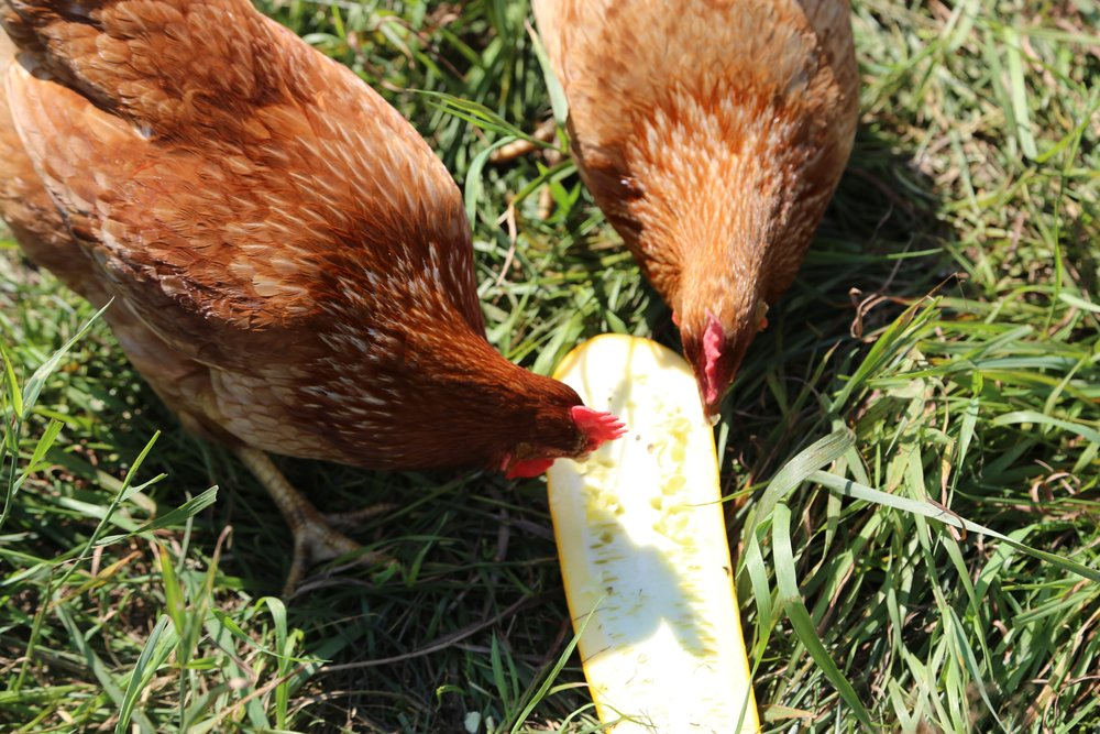 chicken squash.jpg